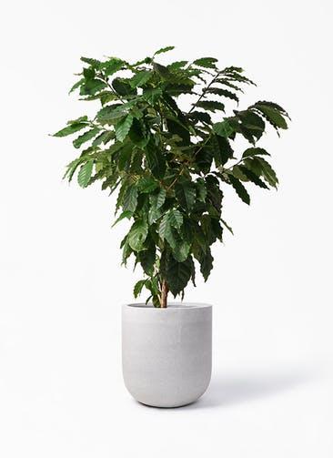 観葉植物 コーヒーの木 10号 バルゴ モノ ライトグレー 付き