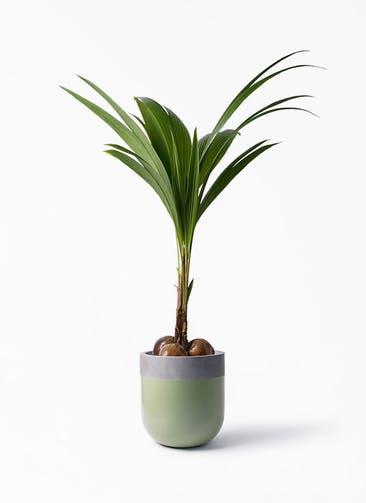 観葉植物 ココヤシ 10号 バルゴ ツートーン 緑 付き