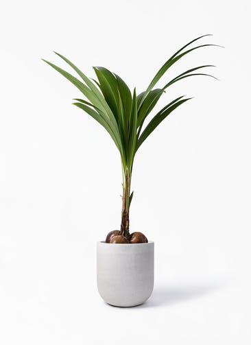 観葉植物 ココヤシ 10号 バルゴ モノ ライトグレー 付き