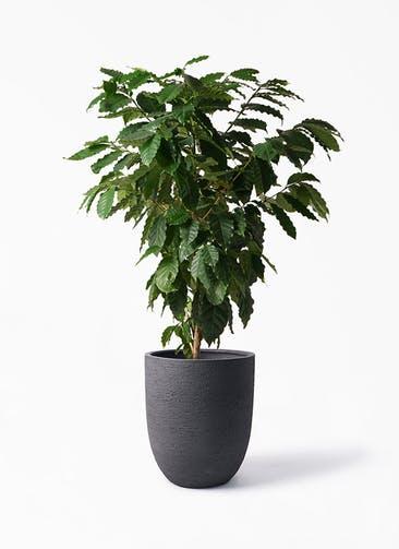 観葉植物 コーヒーの木 10号 ビアスアルトエッグ ブラック 付き