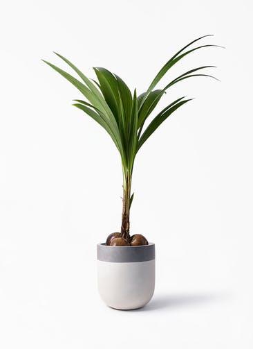 観葉植物 ココヤシ 10号 バルゴ ツートーン  サンディホワイト 付き