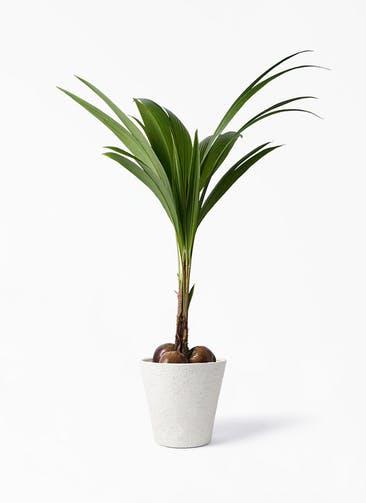 観葉植物 ココヤシ 10号 ビアスソリッド アイボリー 付き
