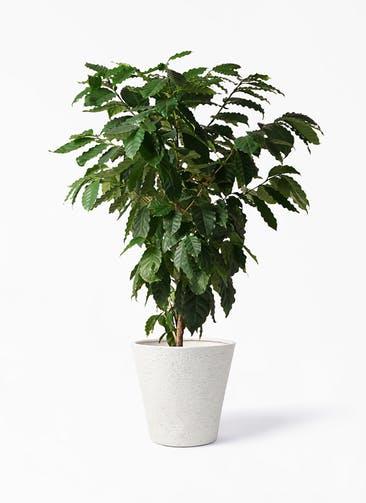 観葉植物 コーヒーの木 10号 ビアスソリッド アイボリー 付き