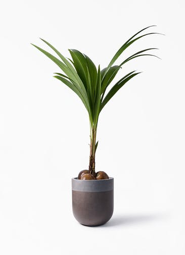 観葉植物 ココヤシ 10号 バルゴ ツートーン マットブラウン 付き