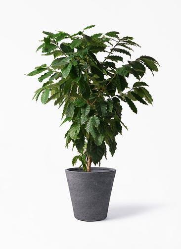 観葉植物 コーヒーの木 10号 ビアスソリッド ブラック 付き