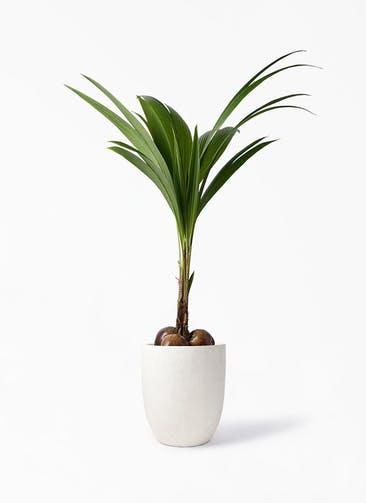 観葉植物 ココヤシ 10号 フォリオアルトエッグ クリーム 付き