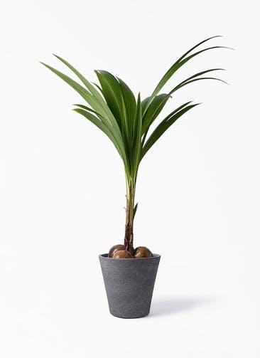 観葉植物 ココヤシ 10号 ビアスソリッド ブラック 付き