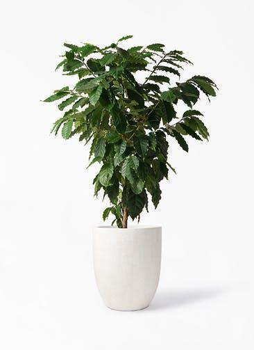 観葉植物 コーヒーの木 10号 フォリオアルトエッグ クリーム 付き