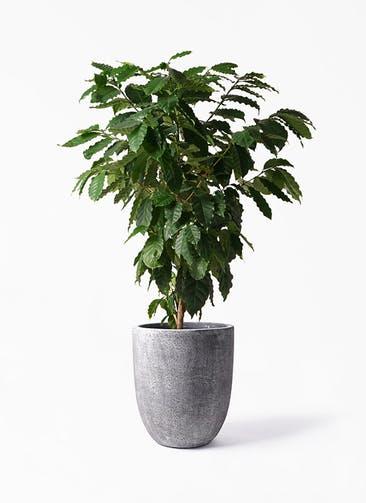 観葉植物 コーヒーの木 10号 フォリオアルトエッグ ブラックウォッシュ 付き