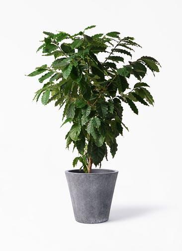 観葉植物 コーヒーの木 10号 フォリオソリッド ブラックウォッシュ 付き