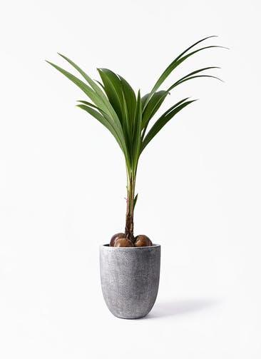 観葉植物 ココヤシ 10号 フォリオアルトエッグ ブラックウォッシュ 付き