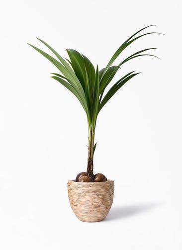観葉植物 ココヤシ 10号 マラッカ ウォーターヒヤシンス 付き