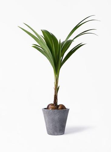 観葉植物 ココヤシ 10号 フォリオソリッド ブラックウォッシュ 付き