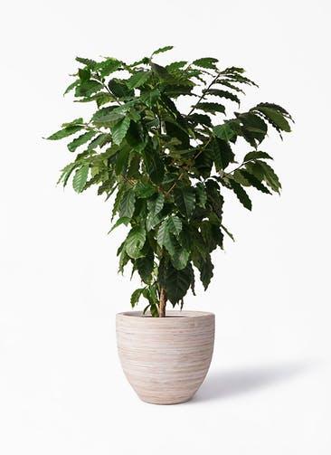 観葉植物 コーヒーの木 10号 マラッカ クリームウォッシュ 付き