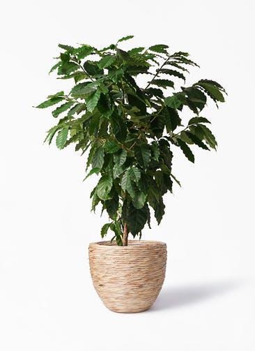 観葉植物 コーヒーの木 10号 マラッカ ウォーターヒヤシンス 付き