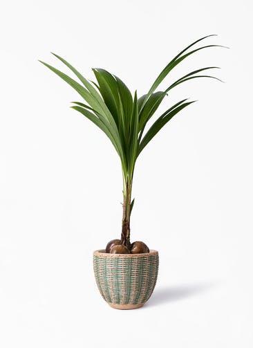 観葉植物 ココヤシ 10号 マラッカ ダイドグリーン 付き