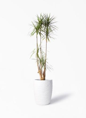 観葉植物 ドラセナ コンシンネ 10号 寄せ サン ミドル リッジ 白 付き