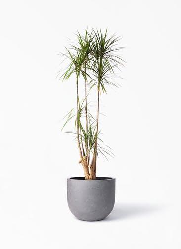 観葉植物 ドラセナ コンシンネ 10号 寄せ コンカー ラウンド 付き