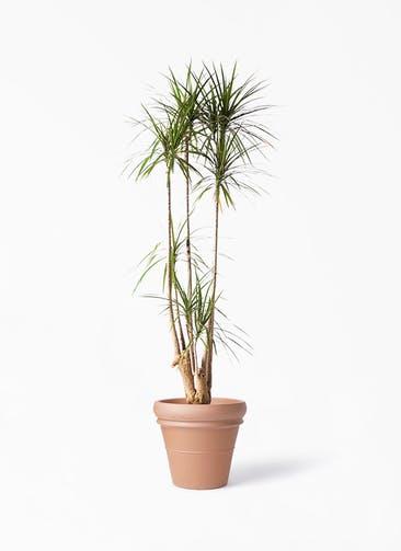 観葉植物 ドラセナ コンシンネ 10号 寄せ トスカーナ リムポット 付き