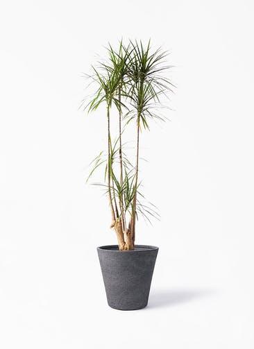 観葉植物 ドラセナ コンシンネ 10号 寄せ ビアスソリッド ブラック 付き