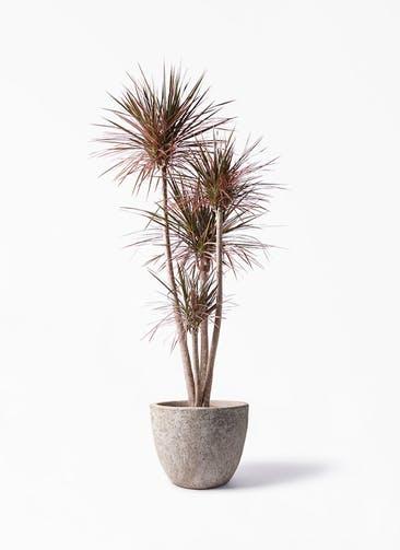 観葉植物 ドラセナ コンシンネ レインボー 10号 ストレート アビスソニア ラウンド 付き