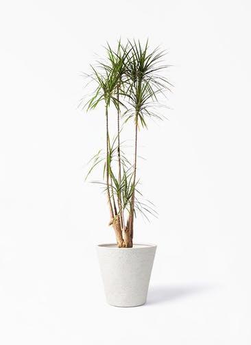 観葉植物 ドラセナ コンシンネ 10号 寄せ ビアスソリッド アイボリー 付き