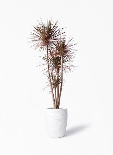 観葉植物 ドラセナ コンシンネ レインボー 10号 ストレート サン ミドル リッジ 白 付き