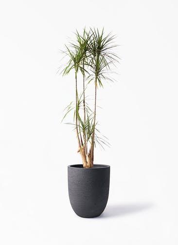 観葉植物 ドラセナ コンシンネ 10号 寄せ ビアスアルトエッグ ブラック 付き