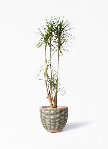 観葉植物 ドラセナ コンシンネ 10号 寄せ マラッカ ダイドグリーン 付き