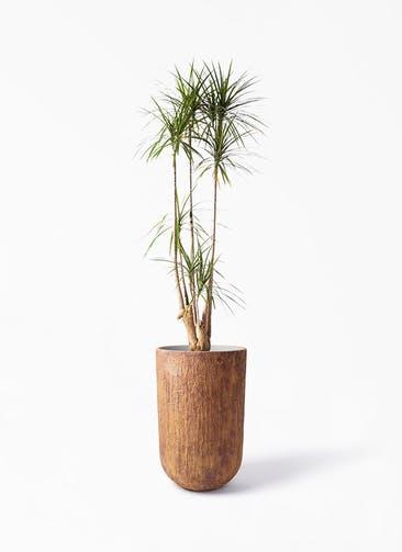 観葉植物 ドラセナ コンシンネ 10号 寄せ バル トール ラスティ 付き