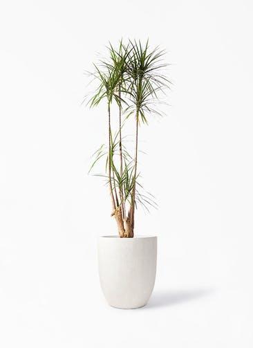 観葉植物 ドラセナ コンシンネ 10号 寄せ フォリオアルトエッグ クリーム 付き