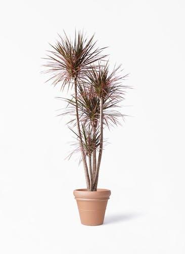 観葉植物 ドラセナ コンシンネ レインボー 10号 ストレート トスカーナ リムポット 付き