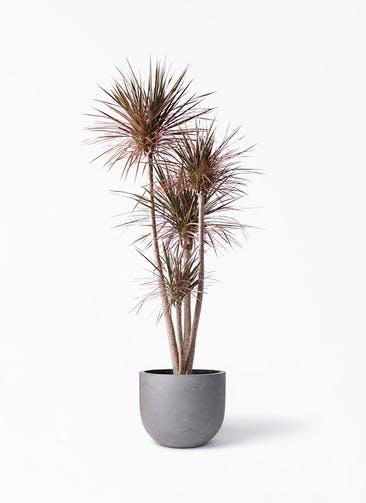 観葉植物 ドラセナ コンシンネ レインボー 10号 ストレート コンカー ラウンド 付き