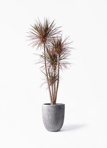 観葉植物 ドラセナ コンシンネ レインボー 10号 ストレート フォリオアルトエッグ ブラックウォッシュ 付き