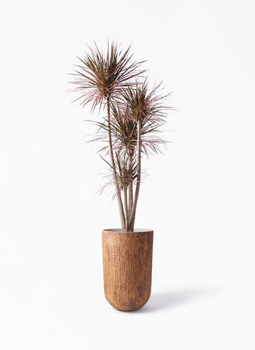 観葉植物 ドラセナ コンシンネ レインボー 10号 ストレート バル トール ラスティ 付き