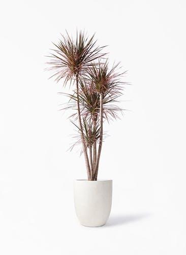 観葉植物 ドラセナ コンシンネ レインボー 10号 ストレート フォリオアルトエッグ クリーム 付き