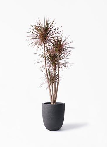 観葉植物 ドラセナ コンシンネ レインボー 10号 ストレート ビアスアルトエッグ ブラック 付き