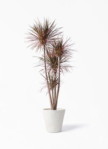 観葉植物 ドラセナ コンシンネ レインボー 10号 ストレート ビアスソリッド アイボリー 付き