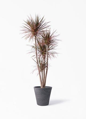 観葉植物 ドラセナ コンシンネ レインボー 10号 ストレート ビアスソリッド ブラック 付き
