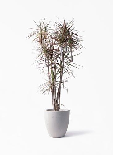 観葉植物 ドラセナ コンシンネ レインボー 10号 曲り コーテス ラウンド ベージュ 付き