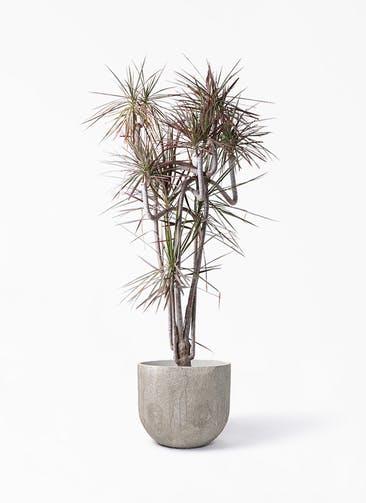 観葉植物 ドラセナ コンシンネ レインボー 10号 曲り バル ユーポット アンティークセメント 付き