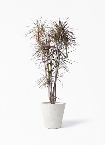 観葉植物 ドラセナ コンシンネ レインボー 10号 曲り ビアスソリッド アイボリー 付き