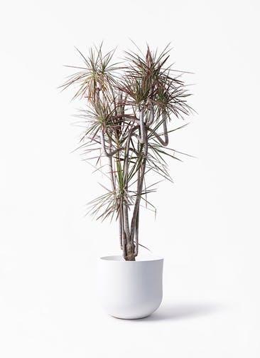 観葉植物 ドラセナ コンシンネ レインボー 10号 曲り アユラニ ライレイ 付き