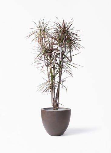 観葉植物 ドラセナ コンシンネ レインボー 10号 曲り エルム ラウンド ブラウン 付き