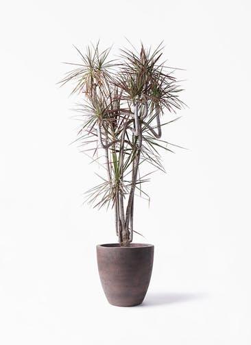 観葉植物 ドラセナ コンシンネ レインボー 10号 曲り コーテス ラウンド ブラウン 付き