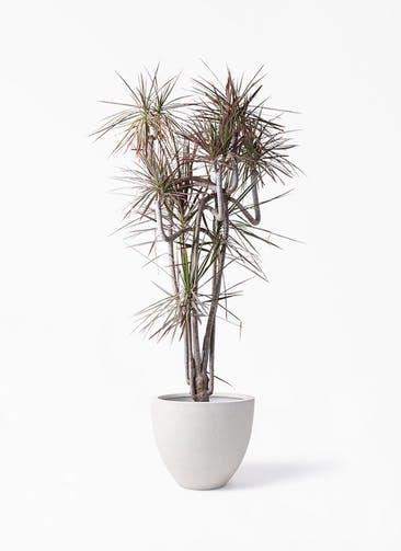 観葉植物 ドラセナ コンシンネ レインボー 10号 曲り スタウト アッシュラウンド  付き