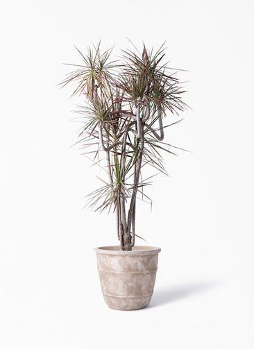 観葉植物 ドラセナ コンシンネ レインボー 10号 曲り テラアストラ シリウス 付き