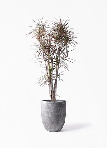 観葉植物 ドラセナ コンシンネ レインボー 10号 曲り フォリオアルトエッグ ブラックウォッシュ 付き