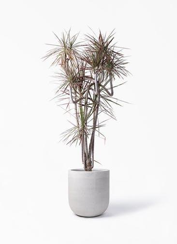 観葉植物 ドラセナ コンシンネ レインボー 10号 曲り バルゴ モノ ライトグレー 付き