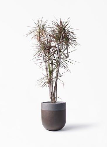 観葉植物 ドラセナ コンシンネ レインボー 10号 曲り バルゴ ツートーン マットブラウン 付き